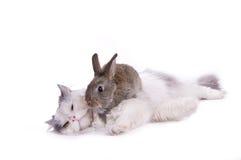 Gato e coelho Fotografia de Stock Royalty Free