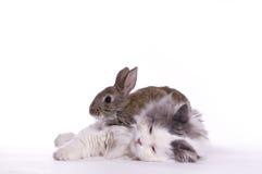 Gato e coelho Imagem de Stock
