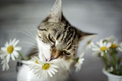 Gato e Daisy Flowers Foto de Stock Royalty Free