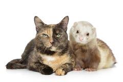 Gato e doninha no fundo branco Fotos de Stock Royalty Free