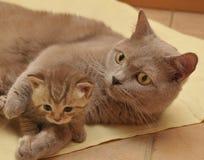 Gato e gatinho Foto de Stock Royalty Free