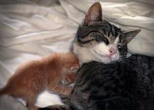 Gato e gatinho Imagem de Stock