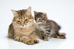 Gato e gatinho Fotos de Stock Royalty Free