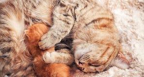 Gato e gatinho da mãe Imagens de Stock Royalty Free