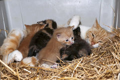 Gato e gatinhos da mamãe Fotos de Stock Royalty Free