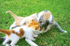 Gato e gatinhos da matriz Imagens de Stock