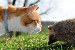 Gato e hedgehog Fotos de Stock Royalty Free