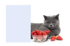Gato e morangos maduras perto de uma bandeira em um fundo branco Imagem de Stock