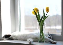 Gato e ramalhete macios brancos de tulipas amarelas das flores em um vaso de vidro em uma soleira Foto de Stock Royalty Free