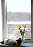 Gato e ramalhete macios brancos de tulipas amarelas das flores em um vaso de vidro em uma soleira Fotografia de Stock