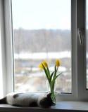 Gato e ramalhete macios brancos de tulipas amarelas das flores em um vaso de vidro em uma soleira Imagem de Stock