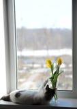 Gato e ramalhete macios brancos de tulipas amarelas das flores em um vaso de vidro em uma soleira Imagens de Stock Royalty Free