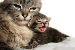 Gato e seu gatinho Fotos de Stock Royalty Free