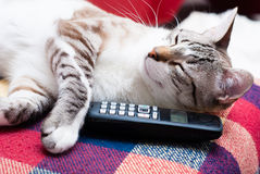 Gato e telefone Foto de Stock