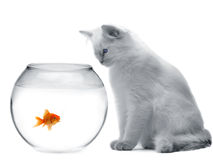 Gato e um peixe do ouro Fotos de Stock