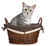 Gato egipcio de Mau en una cesta de mimbre Fotografía de archivo