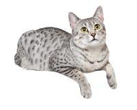 Gato egipcio lindo de Mau Fotografía de archivo libre de regalías