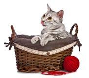 Gato egipcio lindo de Mau en una cesta Imágenes de archivo libres de regalías