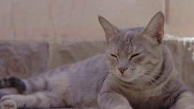 Gato egipcio Mau con los ojos hermosos que miran la cámara almacen de metraje de vídeo