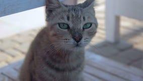 Gato egipcio Mau con los ojos hermosos que miran la cámara almacen de video