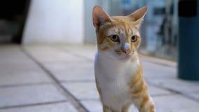 Gato egipcio perdido rojo en una calle en la noche almacen de video
