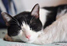 Gato el dormir Fotografía de archivo
