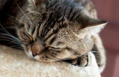 Gato el dormir Imagenes de archivo