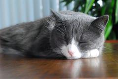 Gato el dormir Foto de archivo
