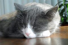 Gato el dormir Foto de archivo libre de regalías