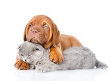 Gato el dormir del abarcamiento del perrito de Burdeos Aislado en el backgro blanco Fotografía de archivo