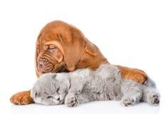 Gato el dormir del abarcamiento del perrito de Burdeos Aislado en el backgro blanco Fotos de archivo libres de regalías