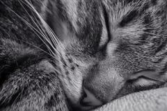 Gato el dormir Primer fotografía de archivo libre de regalías