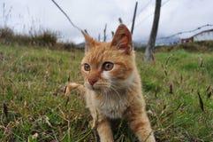 Gato. El gato o gato doméstico merodiando el bosque  y coloquialmente llamado minino, misifu Stock Photo