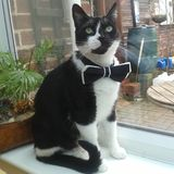 Gato elegante Amo mi bowtie foto de archivo libre de regalías
