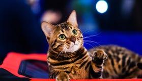 Gato elegante hermoso de Bengala imagenes de archivo