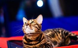 Gato elegante hermoso de Bengala foto de archivo libre de regalías