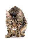 Gato elegante listo para atacar Imagenes de archivo