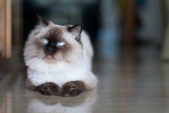 Gato em casa Imagens de Stock Royalty Free