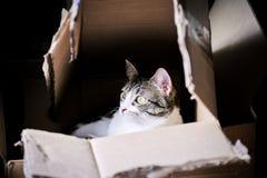 Gato em uma caixa Imagens de Stock
