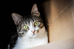 Gato em uma caixa Imagem de Stock