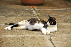 Gato embarazado Fotos de archivo
