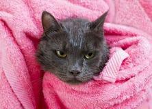 Gato empapado cinzento bonito após um banho Imagem de Stock