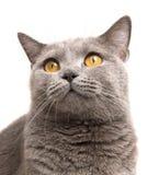 Gato en blanco Imágenes de archivo libres de regalías