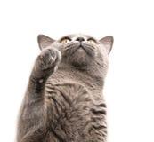 Gato en blanco Fotografía de archivo libre de regalías