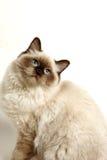 Gato en blanco con la sombra suave Imágenes de archivo libres de regalías