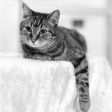 Gato en blanco y negro Foto de archivo
