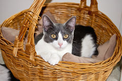 Gato en cesta Fotos de archivo libres de regalías