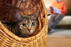 Gato en cesta de mimbre Imagen de archivo