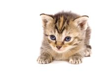 Gato en descanso en el fondo blanco Fotografía de archivo