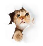 Gato en el agujero rasgado cara de papel aislado Imágenes de archivo libres de regalías